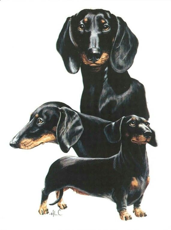 Dachshund Weiner Dog Black And Tan Dachshund Dachshund Art