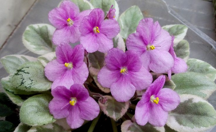 Rob's Lucky Ducky African Violet
