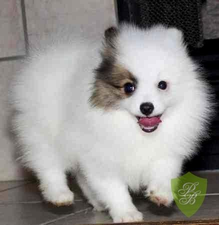 pomeranian breeders va 1000 ideas about pomeranian breeders on pinterest 5219