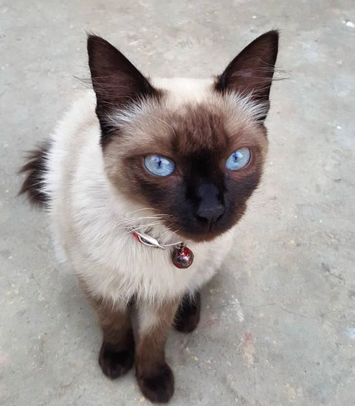 38 Best Names For Siamese Cats With Blue Eyes Cat With Blue Eyes