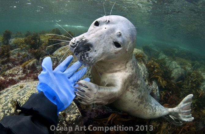újabb érdekes kép az óév legjobb fotó válogatásaiból -> http://blog.volgyiattila.hu/?p=28659 #fotó #sajtófotó #galéria #válogatás  Ez a szürke fóka eleinte félénk volt, de nem tudott ellenállni, hogy a búvár kesztyűjével játsszon Norvégia partjainál. Fotó: Lill Haugen/Ocean Art Competition 2013