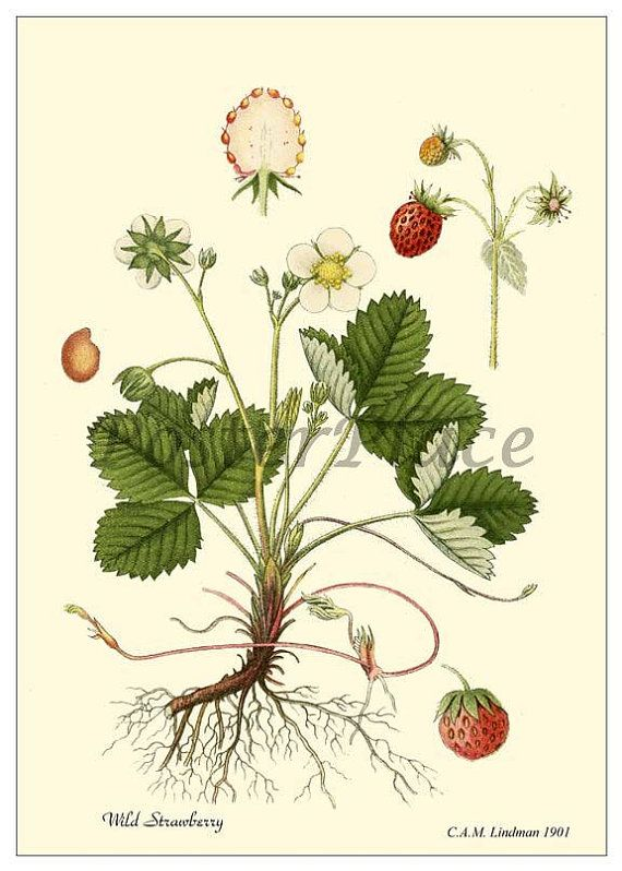 Wild Strawberry Antique Botanical print by PosterPlace on Etsy, $3.95