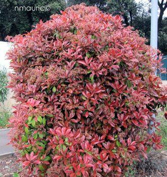 photinia fraseri 39 red robin 39 shrubs amenagement jardin jardins jardinage. Black Bedroom Furniture Sets. Home Design Ideas
