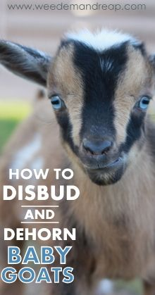 How to Disbud & Dehorn Baby Goats (I hate the thought of doing this to my babies. Maybe a lanacane injections at the site might help the pain? I'll check with the Vet)