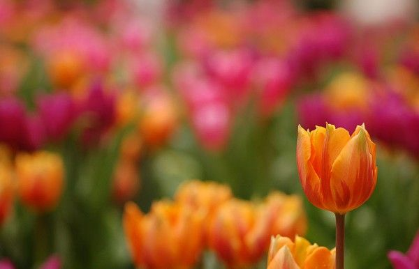 Do Tulips Come Back Every Year Gardening Tulips Bulb Flowers Bloom Where You Are Planted