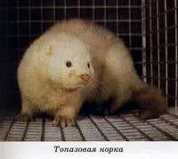 окрасы норок фото: 5 тыс изображений найдено в Яндекс.Картинках