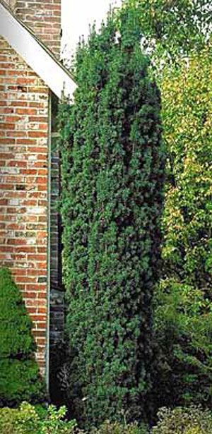 The step evergreen and greenhouses on pinterest for Garden yew trees