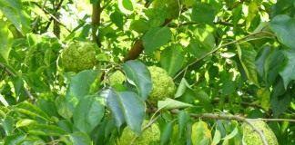 Маклюра оранжевая — дерево отчаявшихся - Лекарственные растения