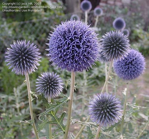 Echinops ritro(Globe Thistle) Bee & butterfly magnet with gorgeous flower ball shaped flower heads that transition from spiky silver green to steel blue lavender. The flower heads finally dry keeping their architectural value & provide abundant, easy to harvest seeds.