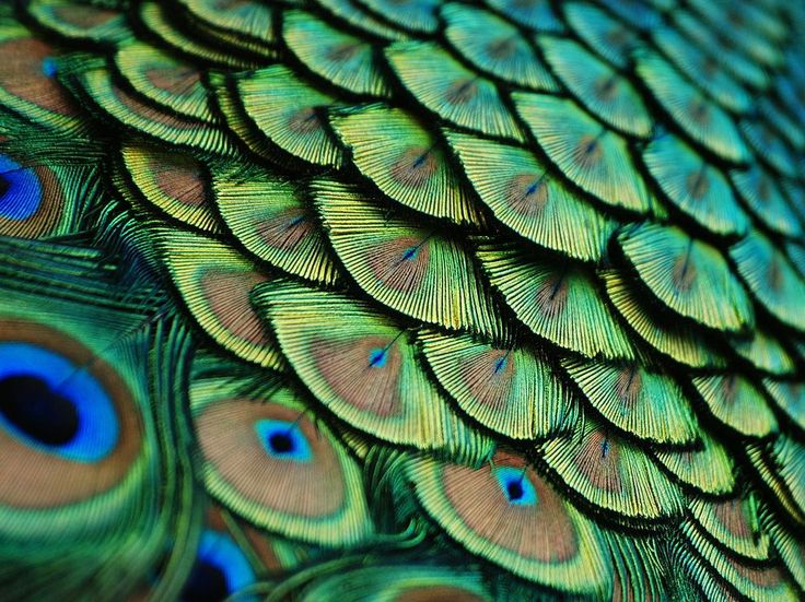 Peacock Feathers  Photograph by Lorenzo Cassina  Peacock feathers showing a captivating pattern, captured at Flamingo Gardens in Davie, Florida