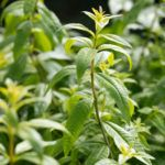 """Verbena Plant Information: Are Verbena And Lemon Verbena The Same Thing You may have used lemon verbena in the kitchen and seen a plant labeled """"verbena"""" in a garden center. You may have encountered the essential oil known as """"lemon verbena"""" or """"verbena oil."""" So are verbena and lemon verbena the same? Find out here."""