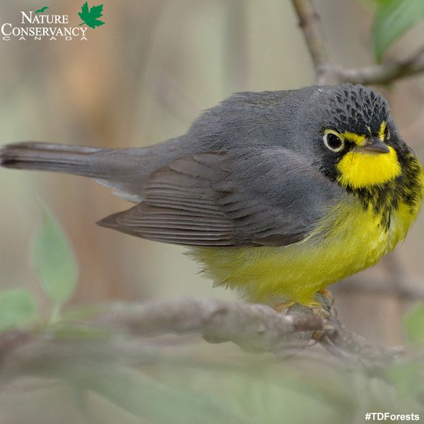 Seeing the forest AND the trees: Discover forest conservation with NCC and TD Forests.  #ForestFriday: This week's forest type is the northern shield boreal forest.  More than 30% of the world's boreal forest is found in Canada, which provides habitat for more than 325 bird species at some point in their life cycle, and countless species of plants and animals.  (Photo by Bill Majoros )  Learn more: http://ow.ly/nzrGM