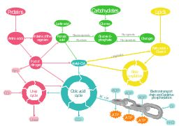 Metabolic pathway map, water, urea cycle, urea, pyruvic acid, proteins, pool, nitrogen, oxygen, lipids, lactic acid, glucose 6-phosphate, glucose, fatty acids, glycerol, citric acid cycle, tricarboxylic acid cycle, TCA cycle, Krebs cycle, chain, carbon dioxide, carbohydrates, beta-oxydation, ammonia, amino acids, adenosine triphosphate, ATP, adenosine diphosphate, ADP,