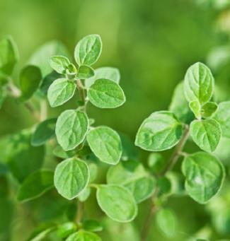 Oregano 多年草  寒さに強い  1.性質は丈夫ですが、多湿や蒸れを嫌います 2.肥料は控えめに、多いと芳香が鈍ります 3.乾燥させて保存する場合はもっとも香る開花直前に収穫します