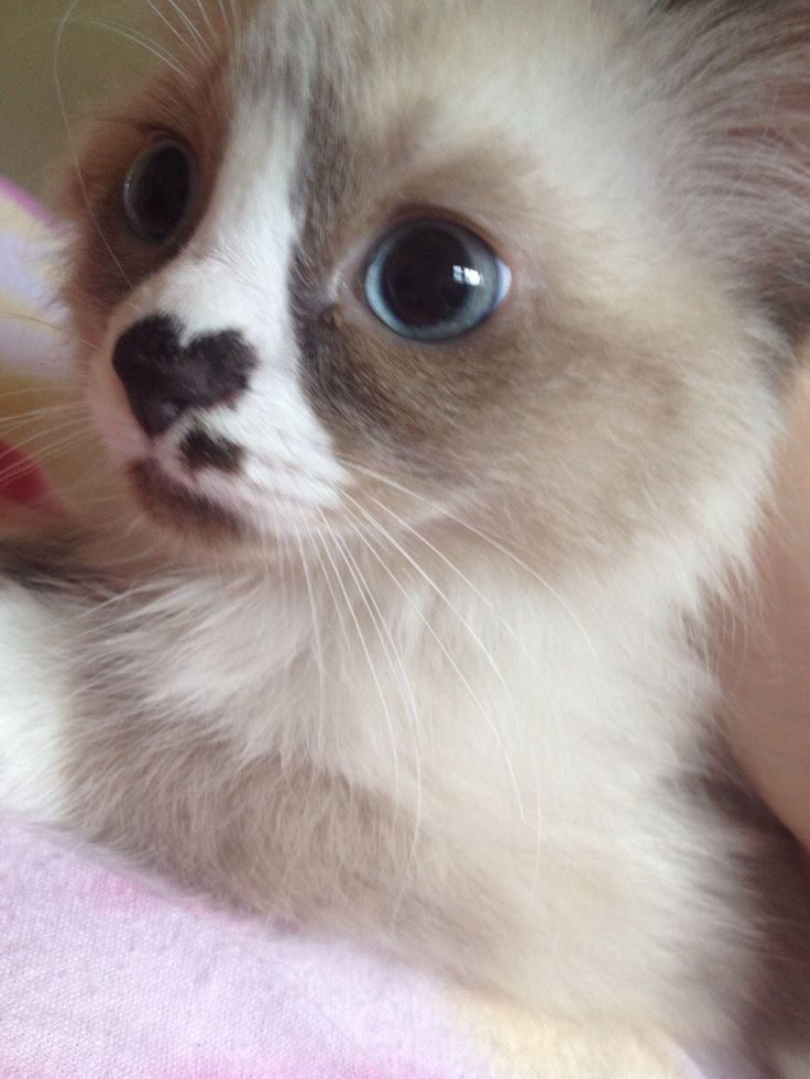 cat with heart nose