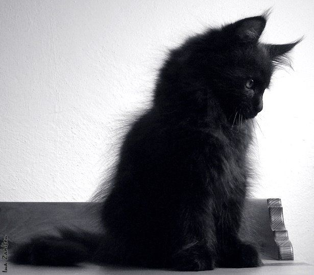 #MaineCoon #Black #Solid #Cats Sparrow's Nightmare Rock River