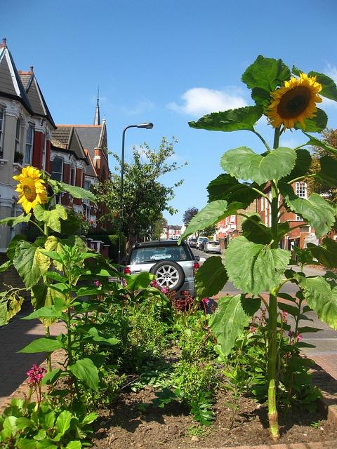 Guerilla Gardened Sunflowers