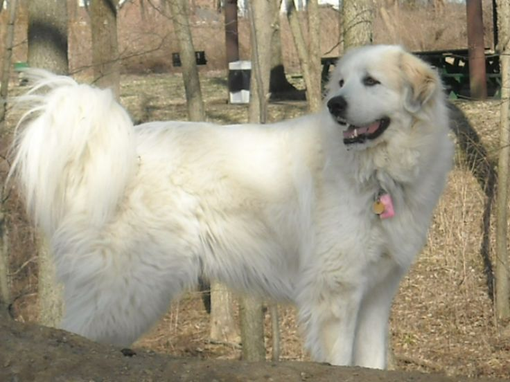 17 best images about great pyrenees france spain on pinterest pyrenees puppies bully sticks. Black Bedroom Furniture Sets. Home Design Ideas