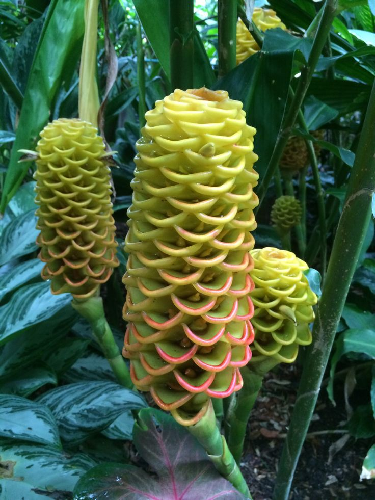 10 images about gorgeous ginger plants on pinterest for Ornamental vegetable plants