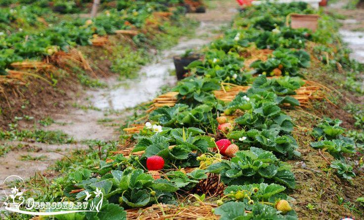Весенняя обработка клубники: чем обработать клубнику от вредителей и болезней весной, обработка горячей водой, подкормка клубники дрожжами...