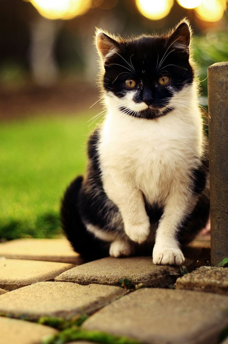 131 best Cats Tuxedo images on Pinterest