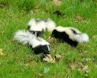 natural skunk repellant.   ammonia and citrus.