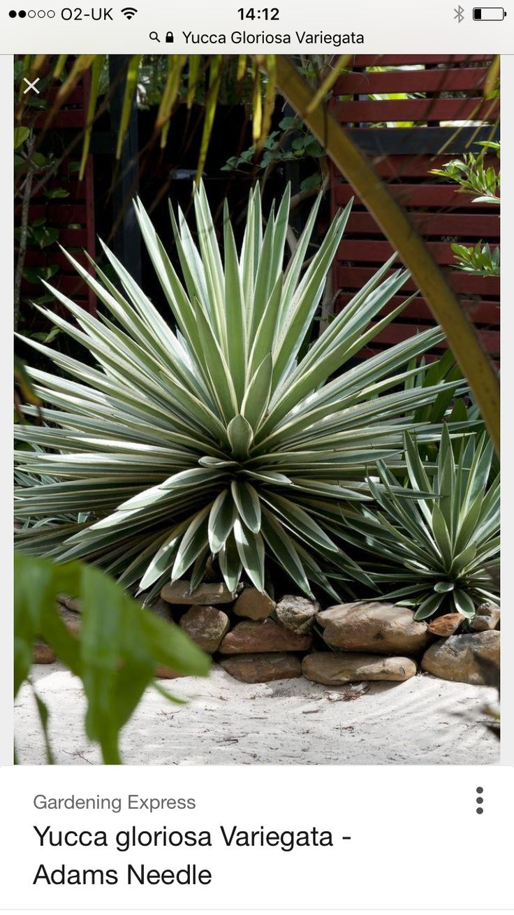 Yucca Gloriosa Variegata which will grow to a height of three to four feet