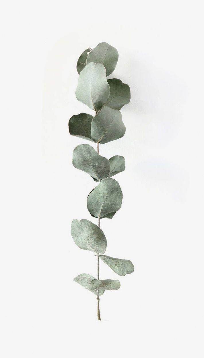 Baby Blue Eucalyptus Plant Aesthetic Plant Photography