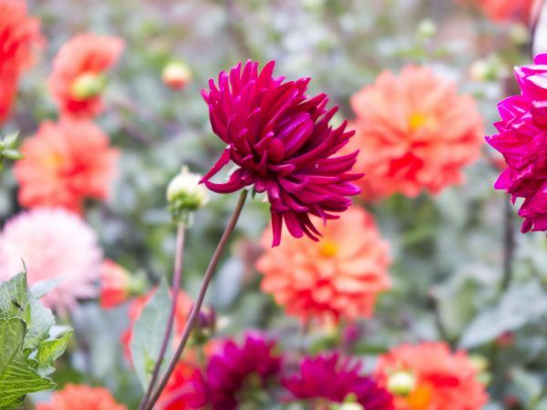 Dont dig up dahlias for winter! What to do instead.