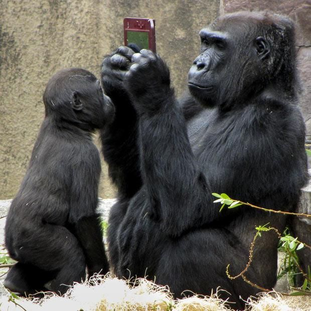 Visitors to a zoo were amazed to see a gorilla playing with a Nintendo DS at San Francisco Zoo. Photographer Christina Spicuzza snapped female gorilla Bawang who had managed to get hold of a handheld games console a young boy had dropped into her enclosure. But her new toy soon caught the attention of 20-month-old son Hansani - who came and peered at the game...