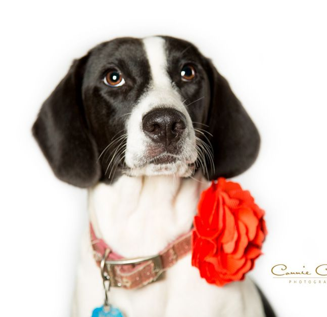 Meet Rainy, an adoptable Beagle looking for a forever home. If you're looking for a new pet to adopt or want information on how to get involved with adoptable pets, Petfinder.com is a great resource.