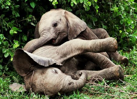 Baby elephants play Photo by Tiernan Lacey -- National Geographic Your Shot