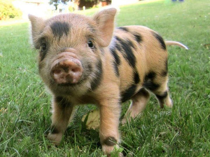 Pink Adult Teacup Pig Spotted Piglet | Love ...
