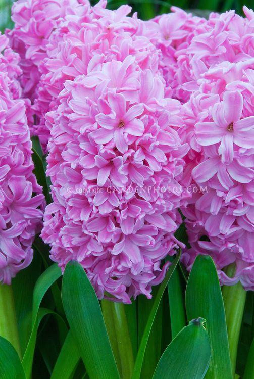 "Hyacinth ""Ibis"" in pink   www.perugiaflowershow.com"