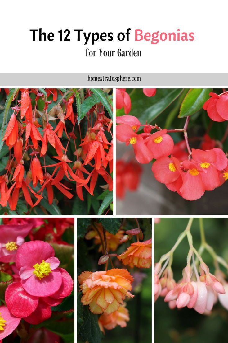 The 12 Types Of Begonias For Your Garden Begonias Flower Blossoms Garden Landscaping Begonia Flower Garden Plants Annual Flowers
