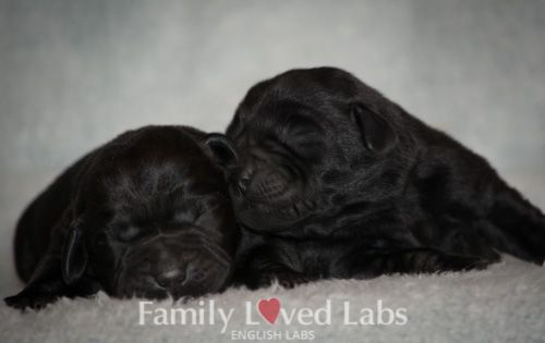 Sweet Black English Labrador puppies - AKC Registered English Labs - Family Loved