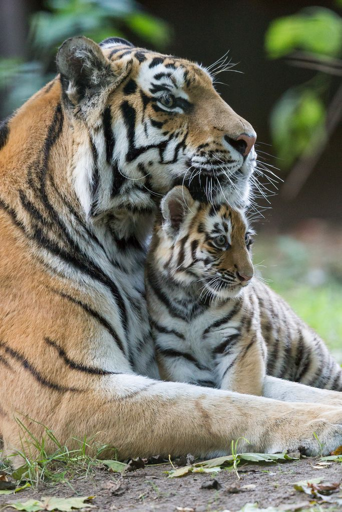 De reden waarom ik donateur ben geworden van het WNF... Mooiste dier ter wereld, de siberische tijger.