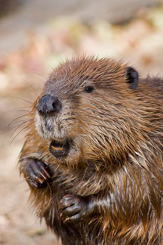 A Beaver has an enormous amount of power in it's jaws. It's teeth are hard as stone. They fell trees very fast. Their instinct tells them how, where and when to build a dam. Engineers scratch their heads even today, when they try to figure out the same thing. It has been proven, that if left alone, the Beaver will benefit the availability of balanced water systems, without any problems of flooding through-out a whole land area, for miles. #LIFECommunity #Favorites From Pin Board #15