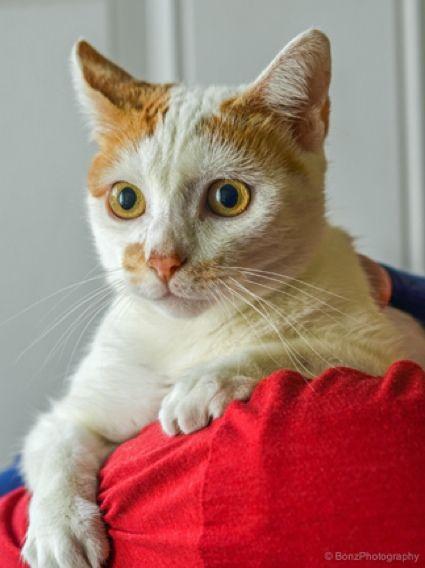 Himalayan cat asheville nc
