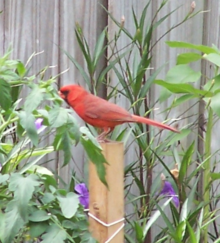 I have 3 pair of Cardinals that frequent my back yard garden :-)