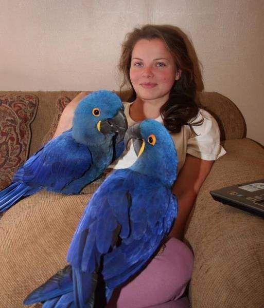 www.mccawsparrots.com | Hyacinth macaw parrots for sale-Sharjah-Animals & Pets