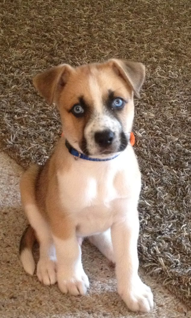 We need a Boxer/Husky mix for the home! :)