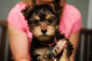 Yorkie Poo Full Grown yorkiepoo - pictures, facts, and user reviews