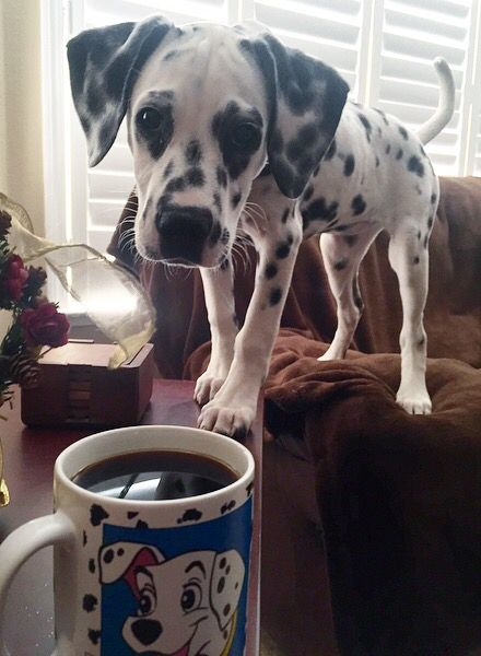 Zhora the Dalmatian, inquisitive as ever, wanting to know if the dark substance contained in the 101 Dalmatian mug is for her!