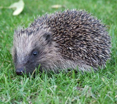 photo by Hedgehog Champion Mark Sant