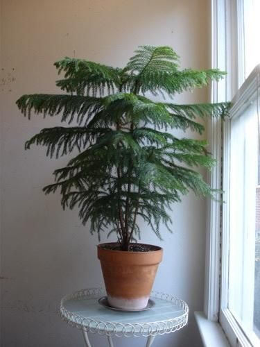 Norfolk Island Pine Araucaria Heterophylla Will Adapt To