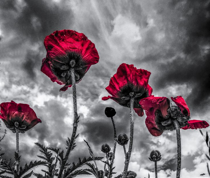 Papaver on a grey sky by max jensen splash of colorcolor popwhite colorsblack white photographynature