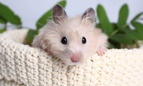 Hamsters are funny, attractive, lively, active, clean and really easy to care for! The main thing to remember is that your hamster needs enough space to play, sleep and feed. #hamsters #HamsterCare