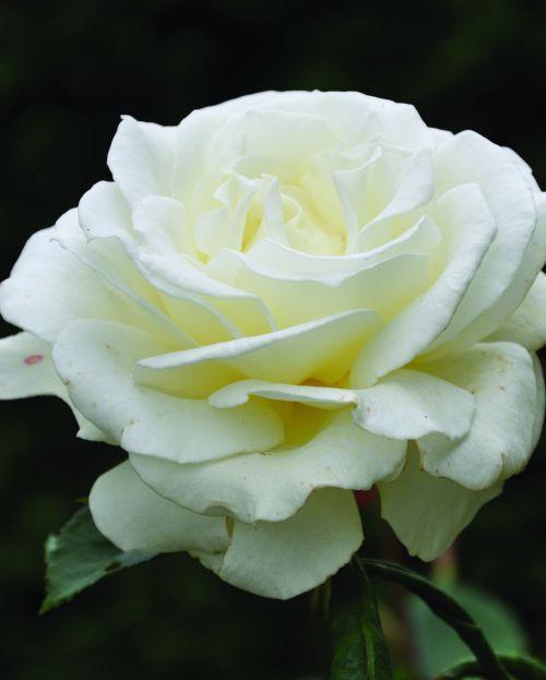'Annapurna' | Hybrid Tea rose