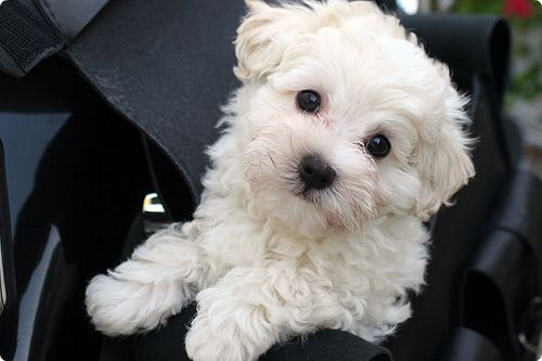 I want one.Little Puppies, Malt Dogs, Dogs Breeds, Bichon Frise, Baby Girls, Malt Puppies, Fluffy Puppies, Baby Puppies, Animal